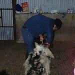 La tonte d'un mouton