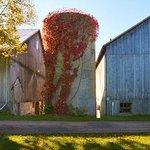 Vine-coverd silo and barns