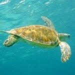 Nado con Tortugas en Buceo