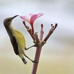 Sunbird in the garden