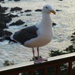 Guardian gull