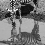 Zebra at the hotel's water hole