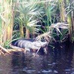 Gator 1