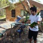 Rosellas and a kangaroo