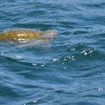 Green Pacific Sea Turtle