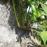 monsteria deliciosa-swiss cheese plant with  unripe edible fruits
