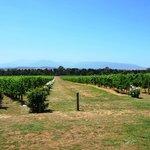 Chando vineyard