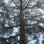 tree outside Hans Heysen's studio