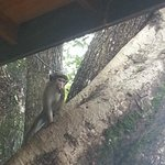 les singes chapardeurs