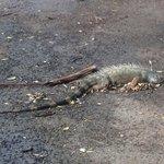 Настолько неухожено, что  на дорожке лежит и похоже уже давно, умершая игуана (((