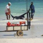 Turist har fanget en barracuda, som renses på stranden.
