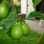 Лимоны растут рядом с номером.