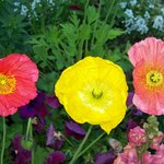 A trio of Poppies.