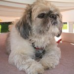 Ruby, the Shih Tzu, lounging by the pool.