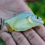 Piranhas fischen