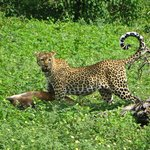 Leopard with her kill at Chobe