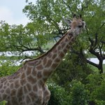 Checking out visitors from the treetops at Chobe