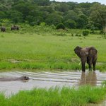 Waterhole politics--Hippo and Elephant in standoff at Chobe