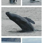 Baby breaching and more whales