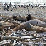 Magellanic penguins along the shore