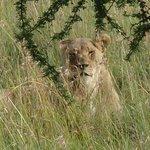 lionness