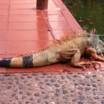 Iguana lounging by the lagoon...