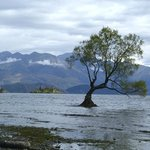 Lone tree on island just off shore of Lake Wanaka