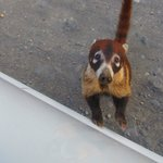 Coati on road to Nepenthe
