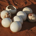 Ostrich eggs on  Game drive