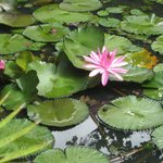 Lotus flower on one of several natural ponds
