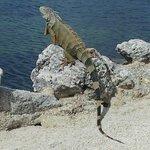 Iguana on water's edge