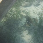 leon fish sotto il pontile