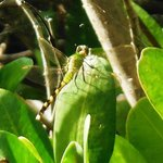 Dragon Fly on Red Mangrove