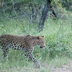 Male leopard on game drive