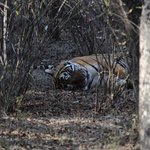 Sleeping tiger at Ranthambore.