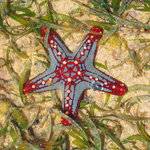 Sea star at Diani beach