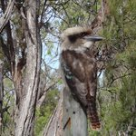 Our friendly Kookaburra Sitting on the Fence Post right near my tent