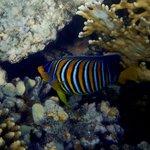 pesce di barriera