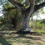 100 year old guango tree