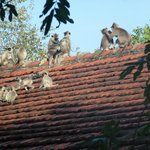 Monkeys on our 'cottage' roof first thing in the morning.