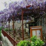 L'Atrium Gadagne - La glycine en fleurs