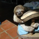 Cooper the adorable baby sloth