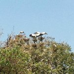 wild storks shading chicks