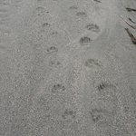 Grizzly Bear & Wolf Prints. Lardeau River