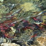 Spawning Kokanee Salmon Lardeau River