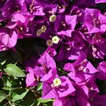 Flowers, plaza at Mission Church, Todos Santos