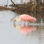 Roseate Spoonbill in the Mangroves