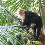 Capuchin Monkey in the mangroves