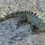 Hotel wildlife - iguana