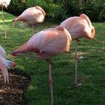 Flamingos napping